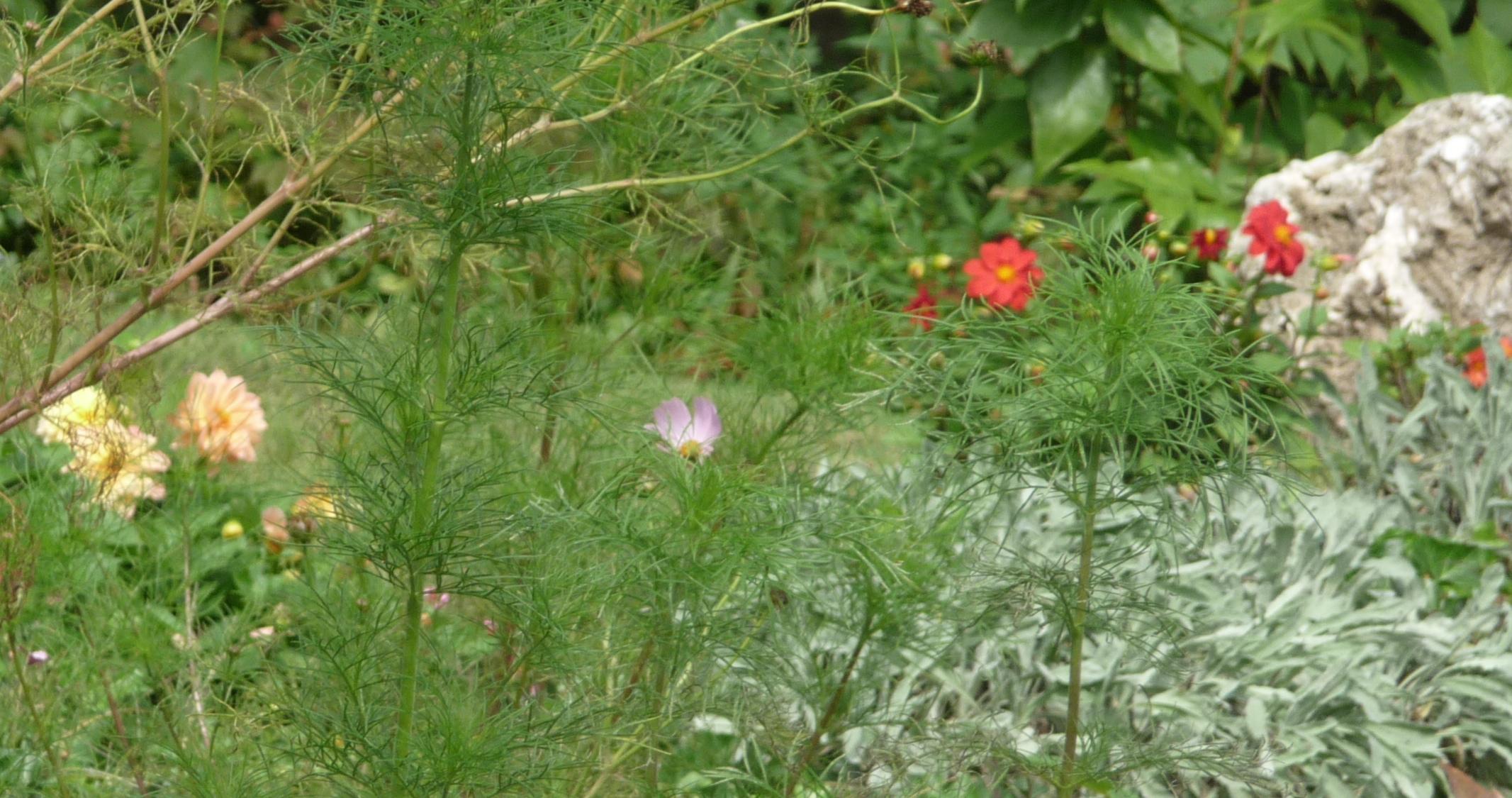 Dahlias  Overwintering survival guide for the UK gardener